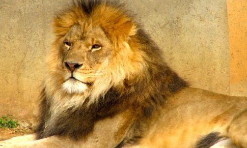 A Lion Personality