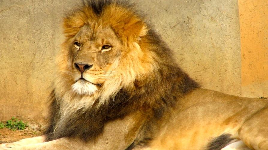 Lion personality