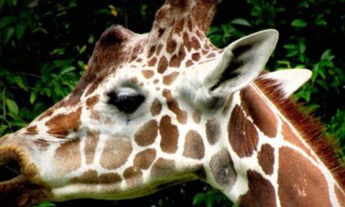 The Giraffe Personality