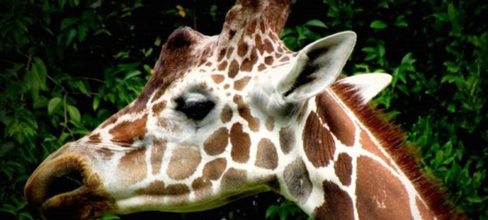 Giraffe Personality