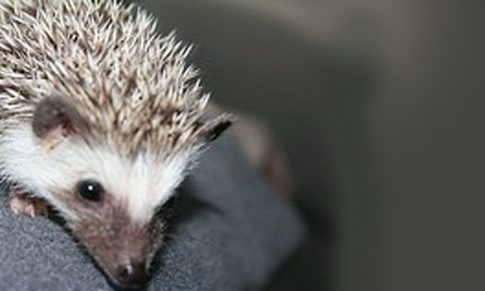 The Hedgehog Personality