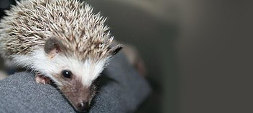 Pointed handwriting - the hedgehog